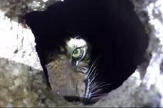 Harimau Sumatera yang Dievakuasi dari Kolong Ruko Dibawa ke Sumatera Barat