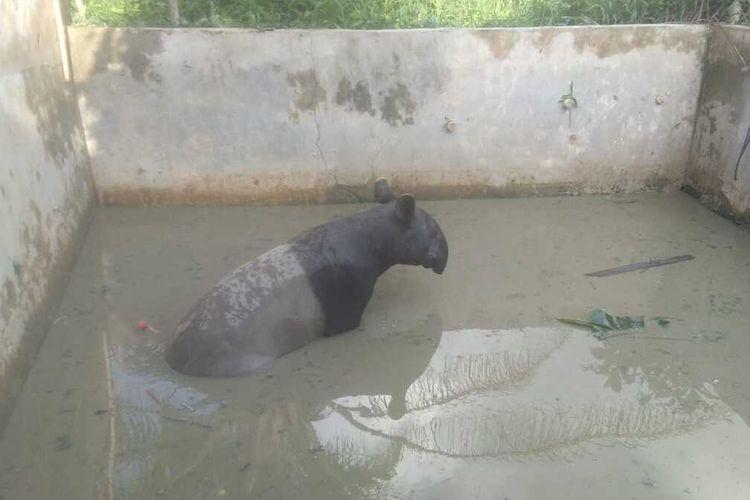 Seekor Tapir Betina Masuk ke Dalam Kolam Ikan di Pekanbaru
