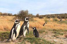 Ribuan Penguin Betina Terdampar Jauh dari Habitat, Sebagian Mati Lapar