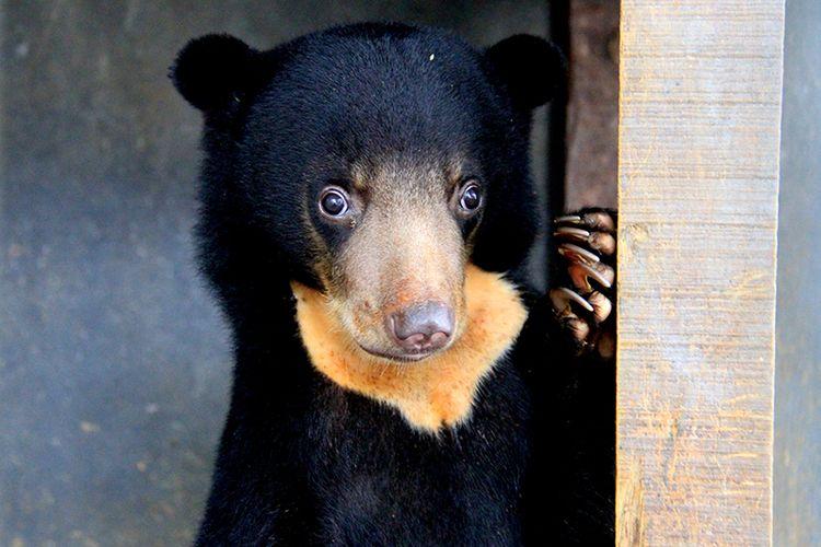 Seekor bayi beruang madu (Helarctus malayanus) berumur dua bulan hasil sitaan dari warga harus dilakukan perawatan di kantor Balai Konservasi Sumber Daya Alam (BKSDA) Aceh minimal 3 tahun,  hingga kondisinya sehat dan dapat kembali hidup di hutan habitatnya. Kamis (01/11/2018). Sebelumnya saat diserahkan ke BKSDA kondisi tubuh bayi beruang ini sangat kurus dan susah makan buah-buahan.