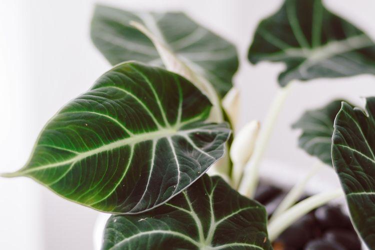 Ilustrasi tanaman alocasia reginula atau alocasia black velvet.