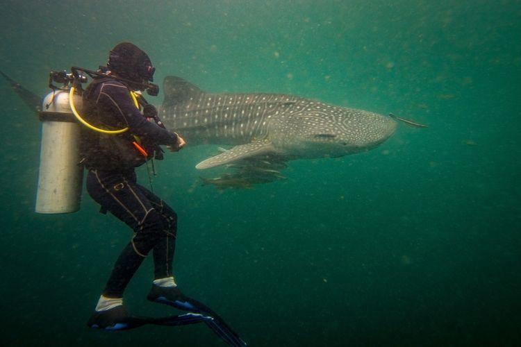 Hiu Paus (Whale Shark) di Derawan