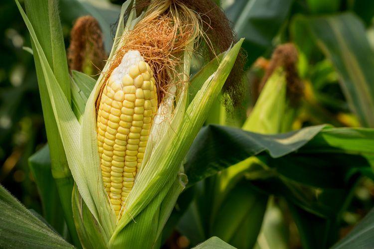 Ilustrasi tanaman jagung.