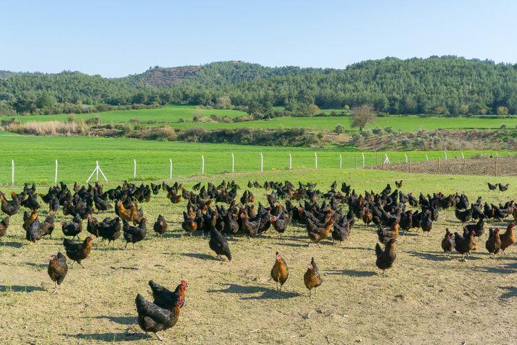 Ilustrasi ayam yang dipelihara dengan cara free range