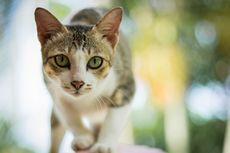 Ingat, Kucing yang Divaksin Belum Tentu Terhindar dari Panleukopenia