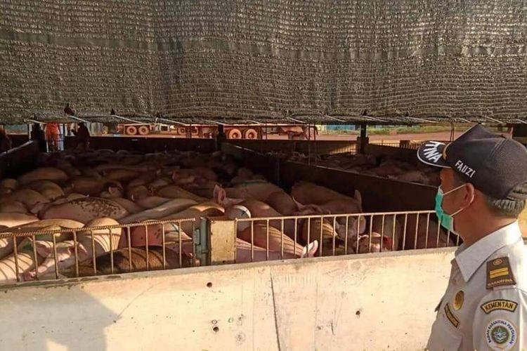 Rata-rata per hari babi hidup yang diekspor ke Singapura berjumlah 1.635 ekor dengan nilai ekspor Rp 5.171.390.600.