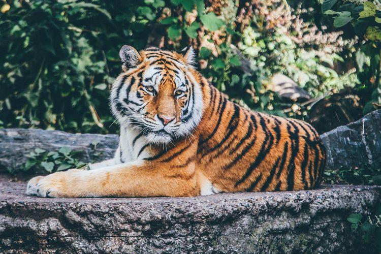 Ilustrasi harimau