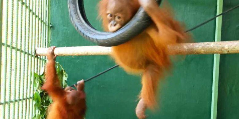 """Info Terkini, Dua Orangutan Sumatera """"Pulang Kampung"""", Setelah Diserahkan Pemeliharanya di Semarang"""