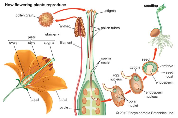 Hasil gambar untuk organ tanaman
