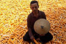 Produksi Jagung di Kabupaten Kendal Diklaim Surplus