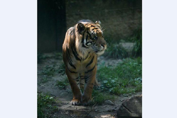 Sanjiv, harimau Sumatra di Kebun Binatang Topeka, Kansas, AS.  (Facebook/Topeka Zoo)