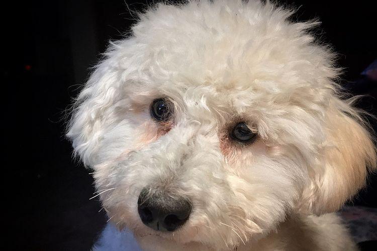 Ilustrasi ras anjing Toy Poodle.