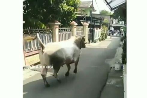 Kabur dari Kandang, Sapi Ternak Seruduk Dua Sepeda Motor di Warung Buncit