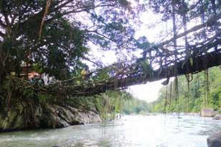 Jembatan Akar benar-benar terbuat dari akar pohon yang saling membelit satu sama lain. Kekuatannya pun tak perlu diragukan, meskipun tua, pohon beringin tersebut terlihat sangat kokoh.