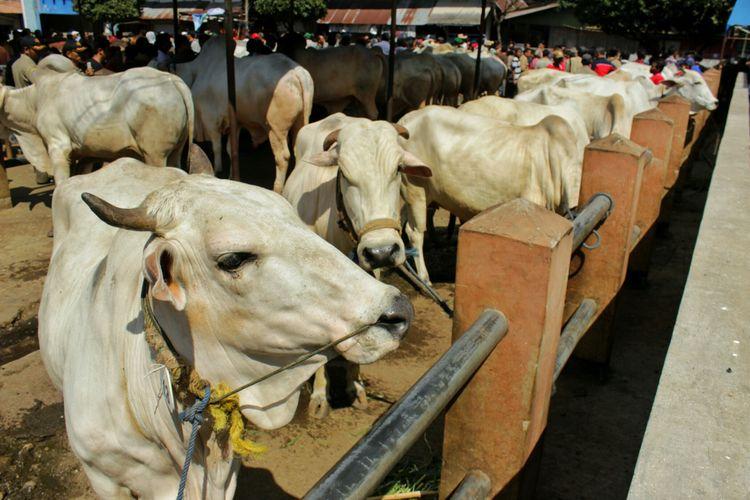 Sapi-sapi peserta Kontes Hewan Kurban yang digelar oleh Pemkab Purbalingga Selasa (1/8/2017). Sedikitnya 39 sapi, 76 kambing, dan 8 domba ikut berpartisipasi dalam kontes tersebut.
