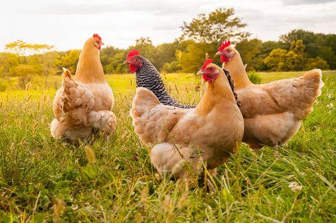 Tangkal Flu Burung, Belanda Musnahkan 190.000 Ayam