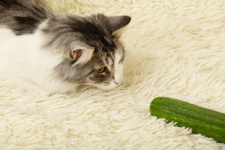 Ilustrasi kucing takut pada timun