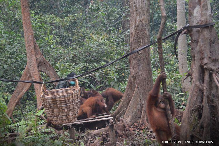 Pusat Rehabilitasi Orangutan dan Lahan Yayasan Borneo Orangutan Survival (BOS) di Samboja Lestari, Kabupaten Kutai Kartanegara, Kalimantan Timur.