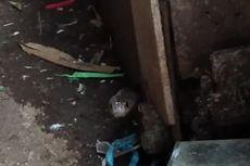 Ular Kobra Jawa Sepanjang 1,5 Meter Ditemukan di Dalam Tong
