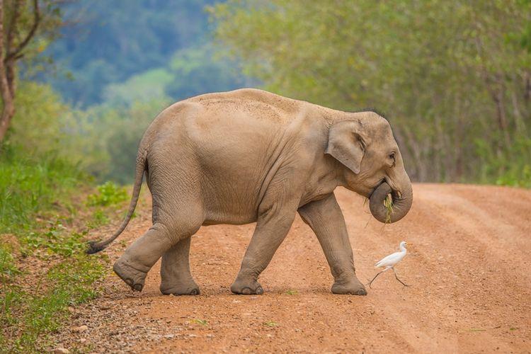 Ilustrasi gajah Asia.