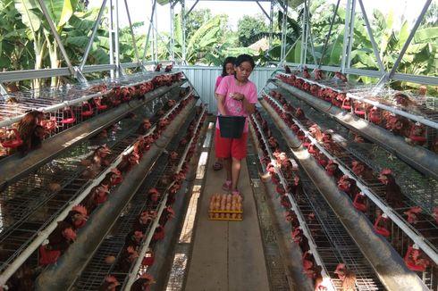Bantu Peternak Layer di Blitar dan Kendal, Kementan Fasilitasi Biaya Distribusi Jagung