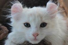 5 Ras Kucing Kerdil yang Menggemaskan