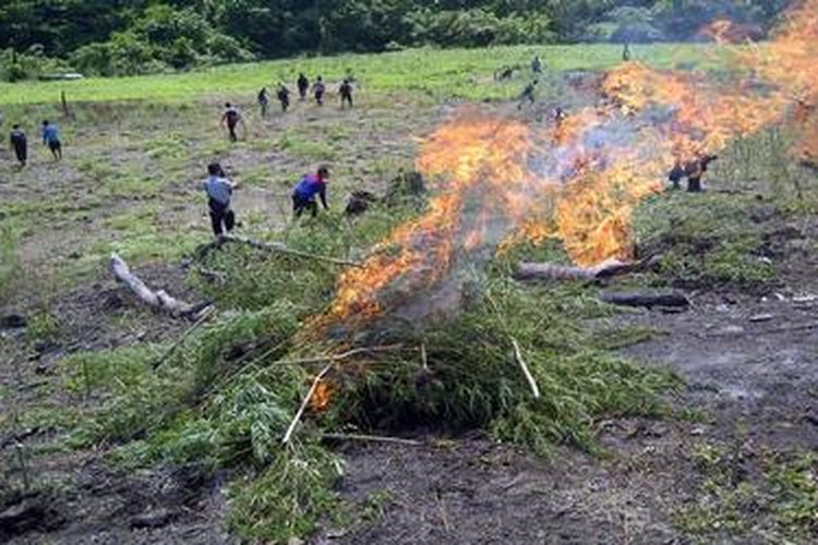 Ilustrasi: Kepolisian Resor Aceh Besar memusnahkan ladang ganja seluas 8 hektar di wilayah Desa Lam Aping, Kecamatan Seulimuem, Kabupaten Aceh Besar, Sabtu (9/2/2013). Ini merupakan pemusnahan ladang ganja yang kedua dalam sepekan terakhir di wilayah Aceh Besar. Tingginya harga jual ganja membuat sebagian warga di wilayah ini memilih menanam tanaman terlarang itu.