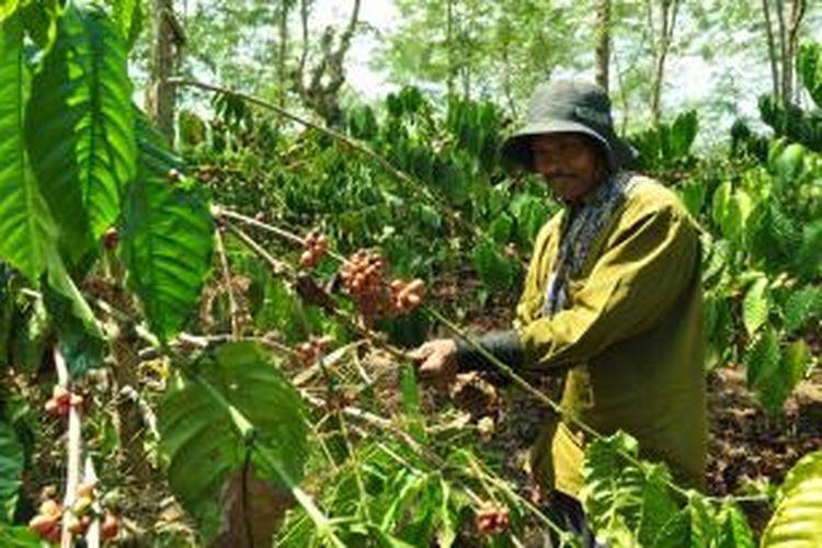 Seorang tenaga petik kopi di Kebun Kopi PTPN IX, Bawen Kabupaten Semarang.