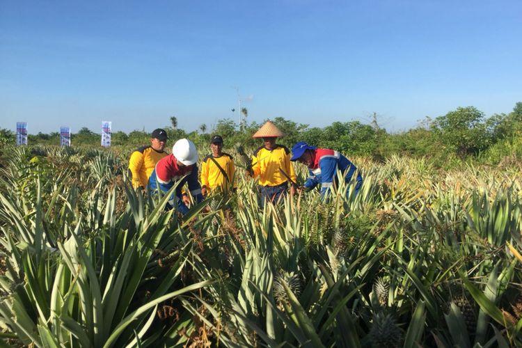 Pertanian Nanas yang menggunakan bekas lahan gambut terbakar di Sei Pakning, Bengkalis,