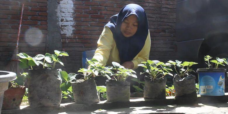 Baiq Nuril Maknun, tengah membersihkan tanaman stroberi yangbdotinggalkannya ke Jakarta selama sepekan, mengejar keadilan. Menanam stroberi  baginya mengurangi rasa tertekan dalam dirinya saat menghadapi proses panjang mendapatkan keadilan.