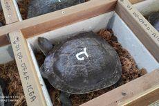 13 Kura-kura Leher Ular dari Singapura Tak Bisa Langsung Dilepasliarkan di Rote Ndao, Begini Penjelasannya