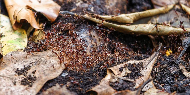 Ilustrasi Dorylus alias semut pengemudi. Gajah yang melihat koloni ini bisa lari ketakutan.
