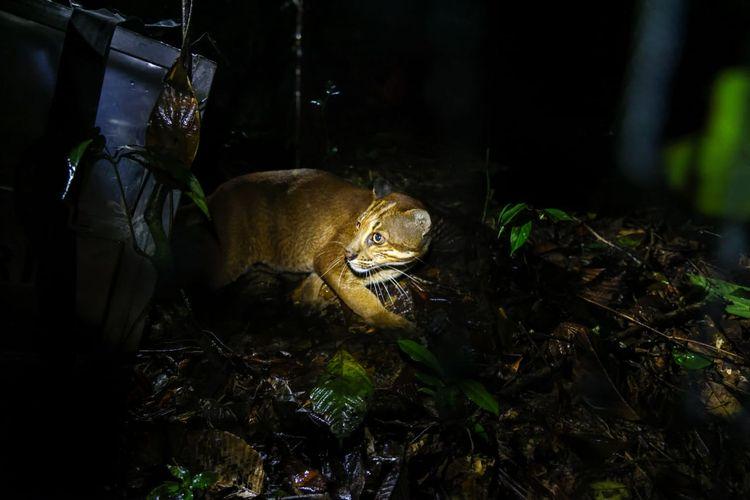Kucing emas yang dilepasliarkan di kawasan hutan TNBBS Lampung. (FOTO: Dok. BKSDA Jawa Barat)