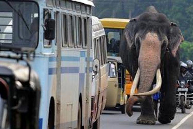 Foto yang diambil pada Juni 2013 ini menampilkan seekor gajah sedang berjalan di salah satu ruas jalan di ibu kota Sri Lanka, Kolombo.