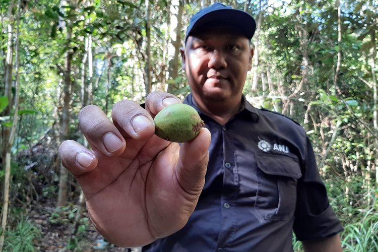 Buah jungkang, makanan favorit orangutan di areal konservasi PT Kayung Agro Lestari.