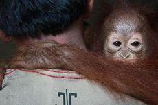 Terpisah dari Induknya, Bayi Orangutan Diselamatkan Pekerja Perkebunan Sawit