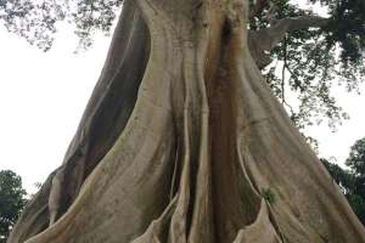 Pohon beringin berusia lebih dari 500 tahun di Desa Baru, Kecamatan Marga, Kabupaten Tabanan, Bali, Sabtu (17/12/2016).