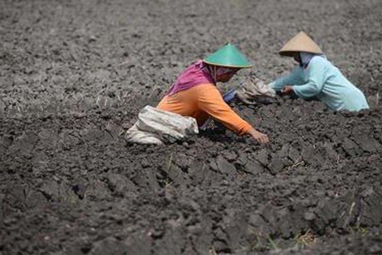 Tingginya harga bibit bawang merah yang mencapai Rp 30.000 per kilogram membuat sebagian petani di Kecamatan Sanden, Bantul, DI Yogyakarta, enggan menanam bawang merah pada musim tanam ini.