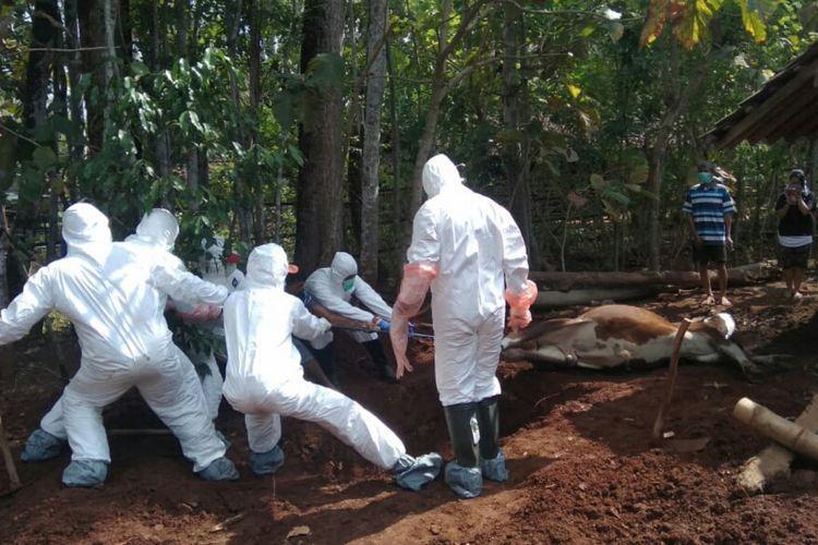 Petugas Mengubur Sapi Mati Milik Warga Dusun Grogol IV, Bejiharjo, Karangmojo, Gunungkidul (Istimewa Dokumentasi Warga)