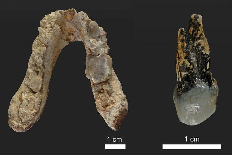 Fosil gigi dan rahang bawah Graecopithecus