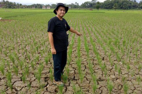 Masuk Musim Kemarau, 1.007 Hektar Sawah di Cianjur Terancam Kekeringan