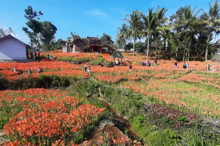 Kebun Bunga Amarilis di Patuk, Gunungkidul Kamis (29/10/2020)