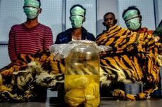 3 Pembunuh Harimau Sumatera di Riau Ditetapkan Jadi Tersangka