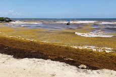 Sabuk Rumput Laut Raksasa Membentang dari Afrika Barat sampai Meksiko