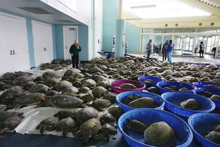 Ribuan penyu hijau Atlantik dan penyu Kemp's ridley yang kedinginan diselamatkan agar bisa pulih pada Selasa, 16 Februari 2021 di Pusat Konvensi Pulau Padre Selatan di Pulau Padre Selatan, Texas.