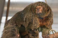 Bagai Binaragawan, Monyet Betina Ini Viral di Media Sosial