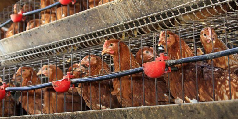 Ilustrasi peternakan ayam, flu burung
