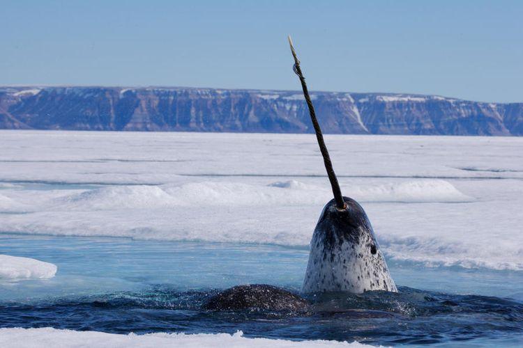 Narwhal: Hewan laut kutub yang memiliki tanduk