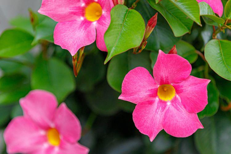 Ilustrasi bunga hias tanaman Mandevilla.