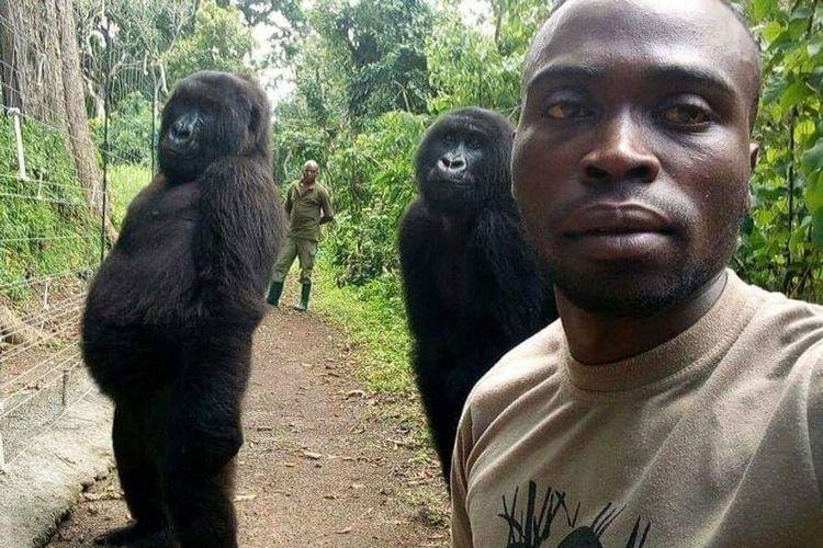 Sepasang gorila gunung tengah berswafoto bersama petugas Taman Nasional di Kongo.